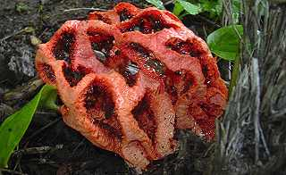 clathre rouge, clathrus rubber