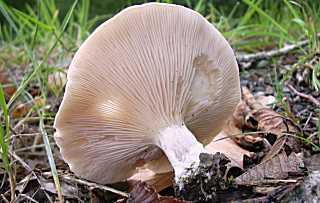 clitopile petite prune, meunier, clitopilus prunulus